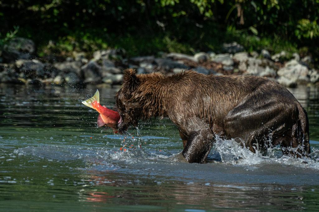 Wild Alaskan brown bear fishing for sockeye salmon in Lake Clark National Park