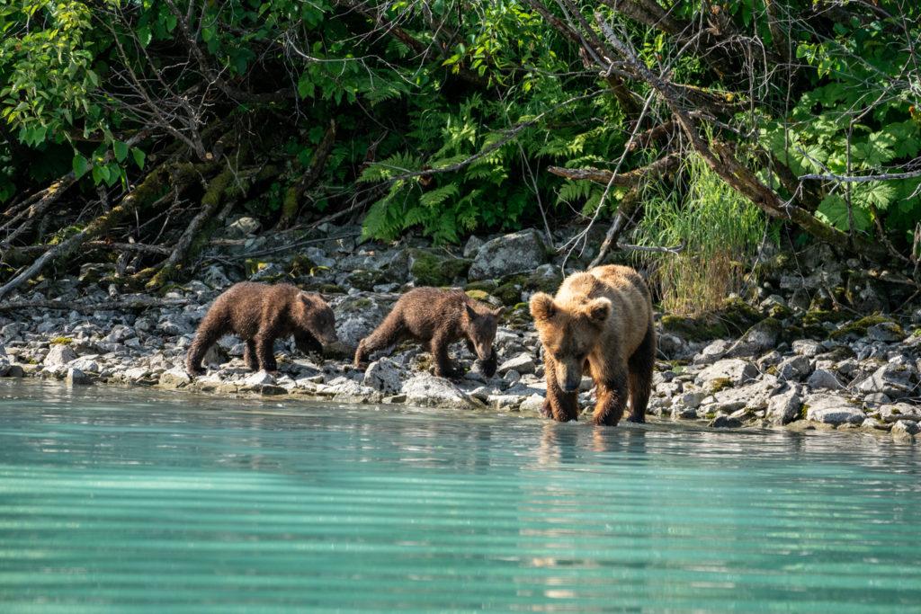 Wild Alaskan brown bear with cubs at Lake Clark National Park