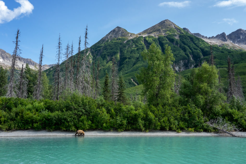 Lake Clark National Park wild brown bear on shore