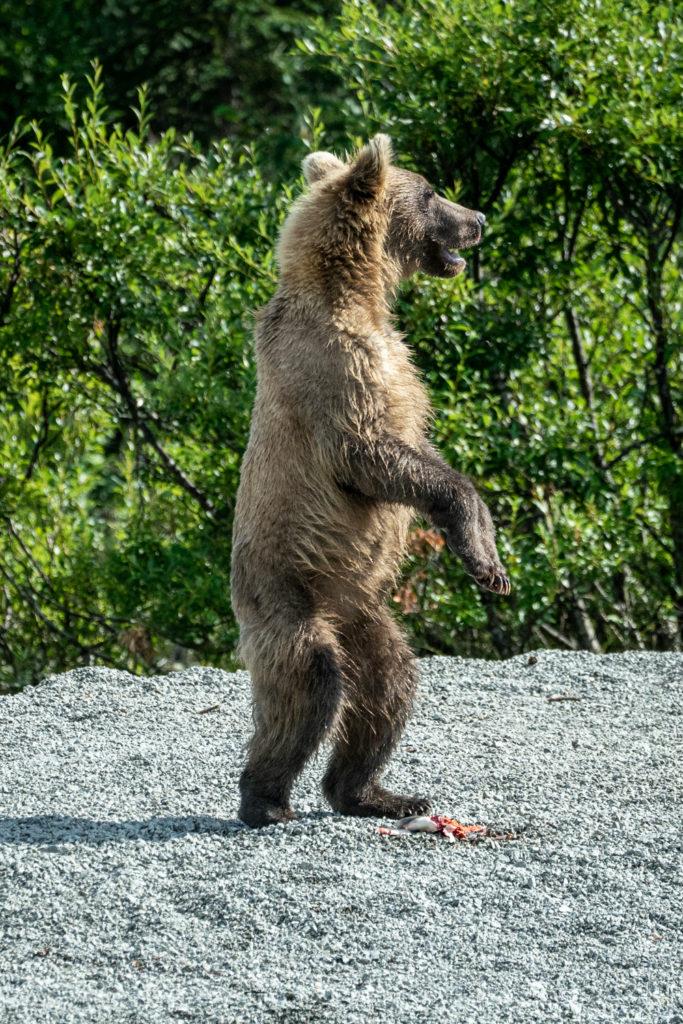 Wild Alaskan brown bear standing on shore